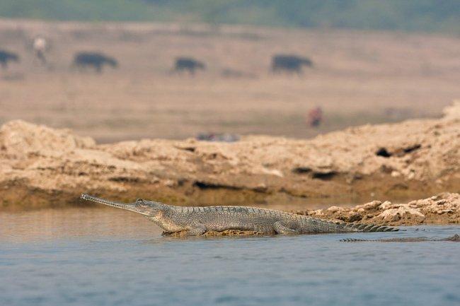 Chambal-Gharial-Wildlife-Sanctuary
