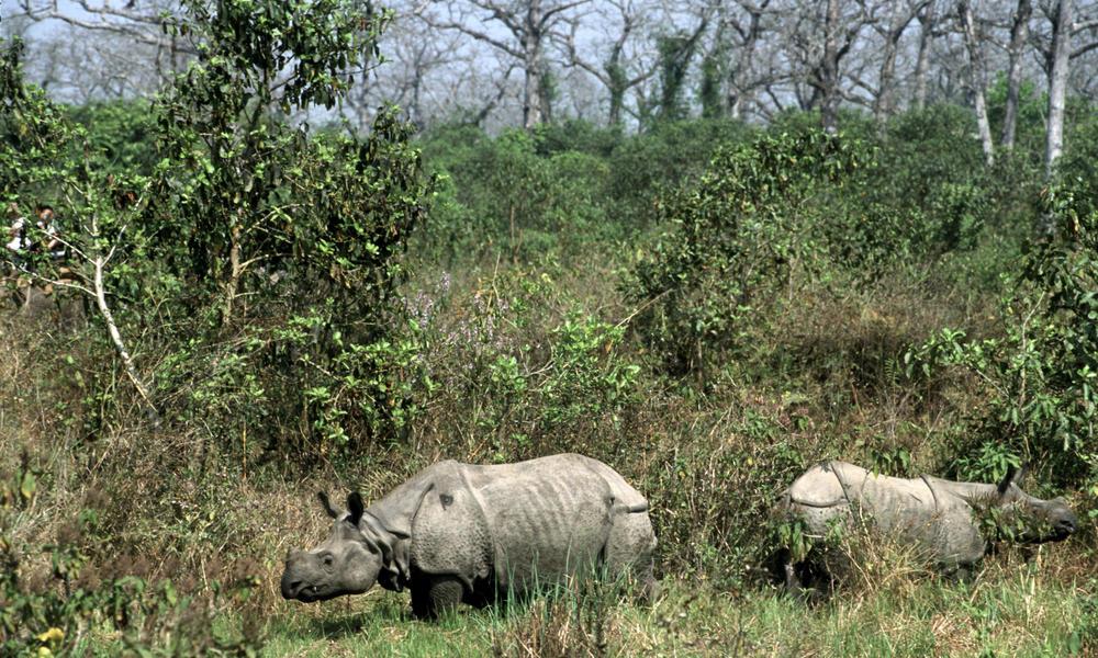 Greater_One_Horned_Rhino_8.6.2012_Threats_HI_104178
