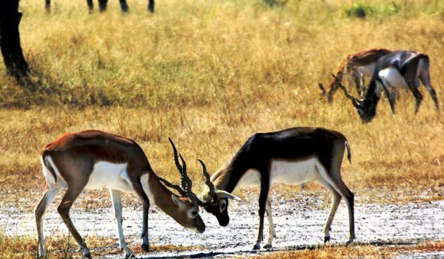 Rehekuri-Blackbuck-Sanctuary