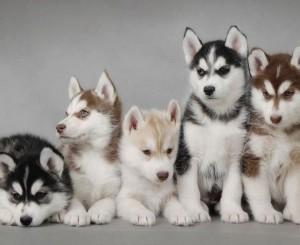 Siberian-Husky-Puppies-12