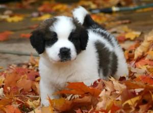 cutest-st-bernard-puppy-among-autumn-leaves-puppies-wallpaper