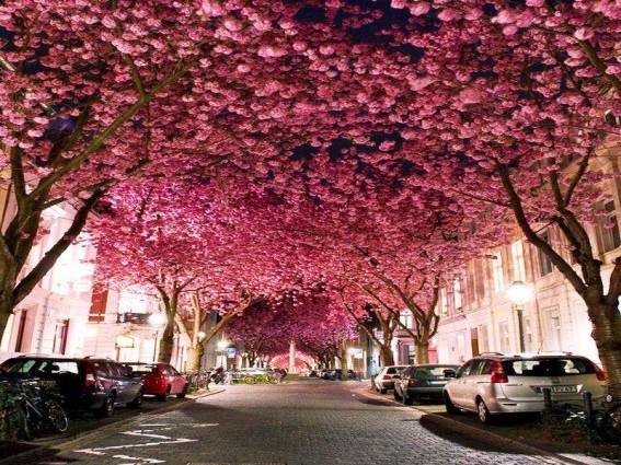 http://indianoverseas.com/wp-content/uploads/2014/08/Cherry-Blossom-Avenue-Bonn-Germany.jpg
