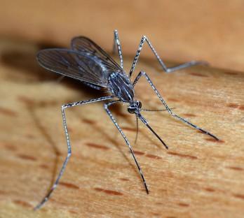 https://upload.wikimedia.org/wikipedia/commons/d/dc/Mosquito_2007-2.jpg