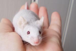 Mice_as_Pets
