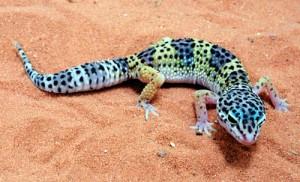 pet-leopard-gecko