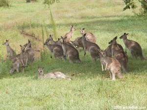 2004-06-04_kangaroo_mob