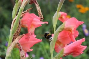 gladiolus-blooms