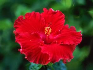 hibiscus-flower-pic
